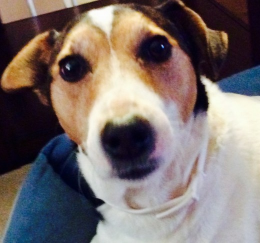 """Lola the mutt. She's a Jack Russell/Rat Terrier/ Beagle mix. And now you see why it's easier to say, """"mutt""""."""