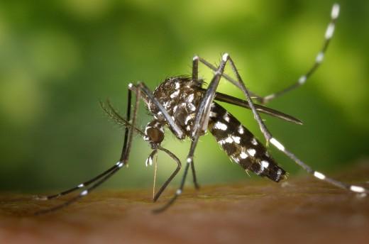 Tiger mosquito.