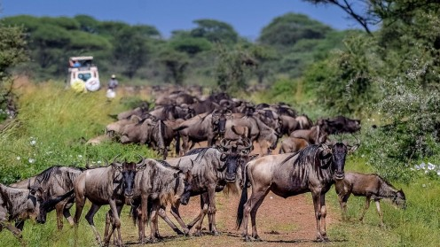 A herd of wildebeest in Serengeti National Park, Tanzania - one of hundreds of types of wild animals found in East Africa.