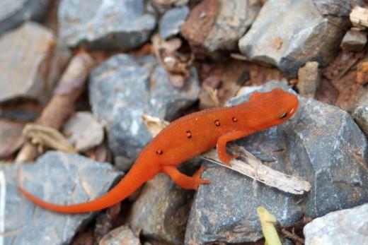 Cute Newt :)
