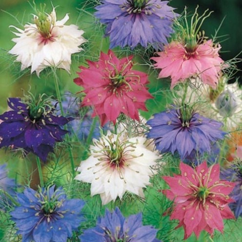 Most of the time, 'Love-in-a-Mist' flowers are blue, but sometimes they can be found in pink, white or purple.