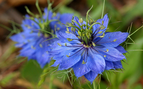 'Love-in-a-Mist' blue flowers.