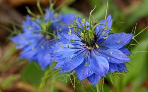 'Love-in-a-Mist' blue flowers.