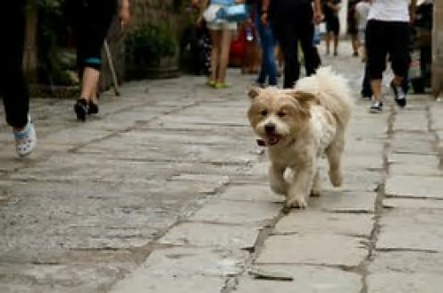 In Hong Kong, it is a huge deal when someone can own a canine as a pet.