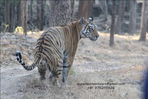 Tigress at Pench