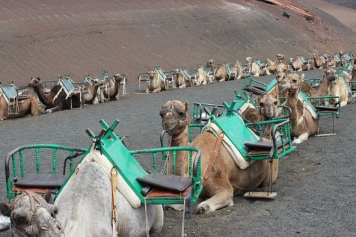 A caravan of camels waiting for tourists to arrive.