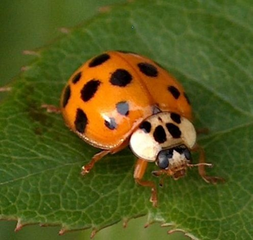 This is an Asian lady beetle - and they are the ones that like to come inside your home and spend their winters.