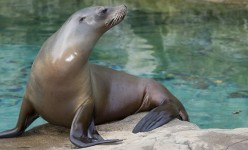 Sea Lion Facts