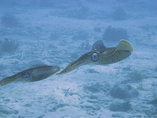 Shown above are two squid.