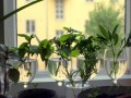 Plant Propagation with Softwood Cuttings