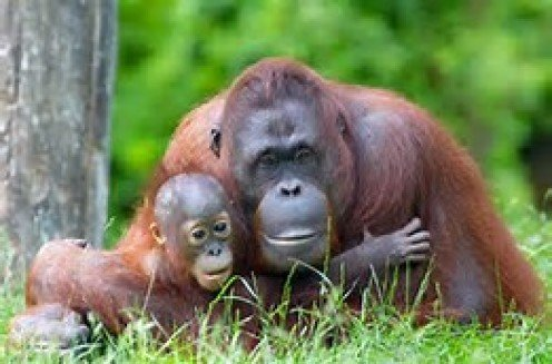 Orangutans spend the majority of their time in trees and they have a lifespan of over 30 years.