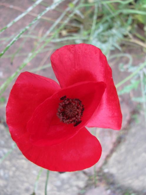 Vibrant Red Poppy...