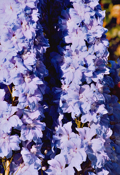 Gorgeous display of the Delphinium, otherwise known as Larkspur