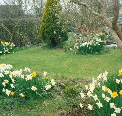 Dancing Daffodils