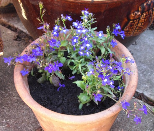 Lobelia, some Potted, some Planted