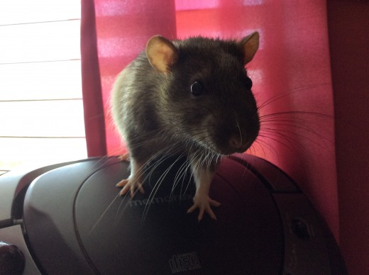 My rat Scabbers says hi!