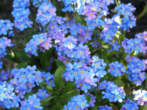 How could anyone forget this flower - the Forget-me-Not - with its soft predominantly blue petals?