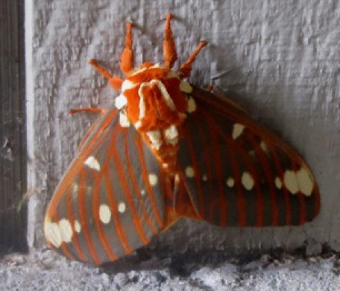 It has been said that even birds that would ordinarily attack a butterfly won't bother with a Regal Moth, which has a wingspan of about four inches.