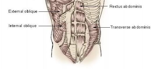 Obliques, rectus abdominis, transverse abdominis   Four Major Core Muscle Groups