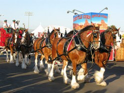 The Anheuser-Busch Clydesdale Horses -- Is It Time For the Pasture?