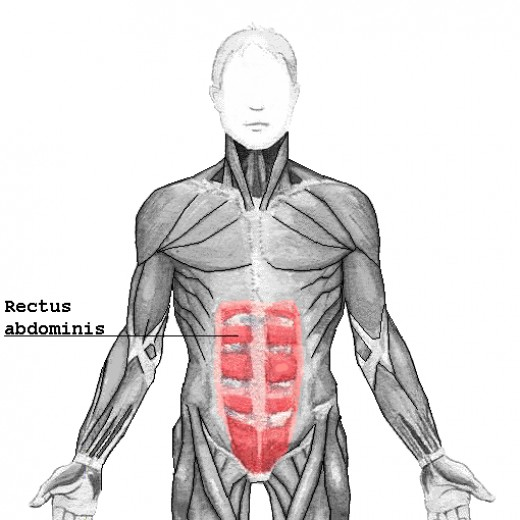 Rectus Abdominis | Four Major Core Muscle Groups