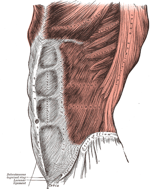 The obliquus externus abdominis | Four Major Core Muscle Groups