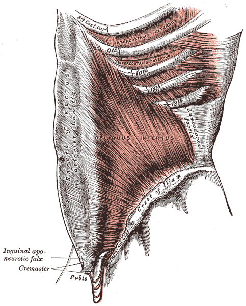 The obliquus internus abdominis | Four Major Core Muscle Groups