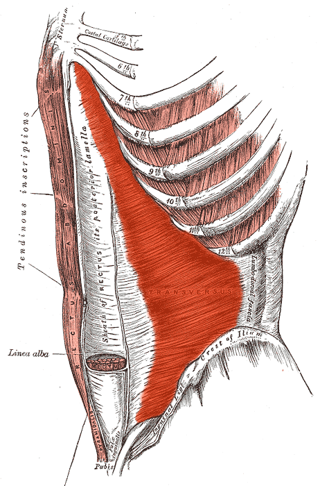 The Transversus abdominis |  Four Major Core Muscle Groups