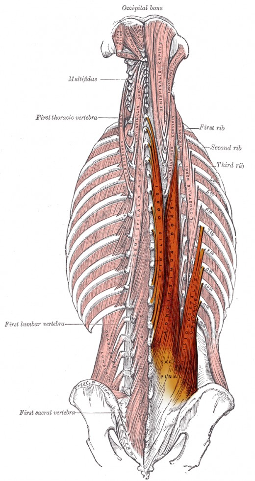 The erector spinae muscle group | Four Major Core Muscle Groups