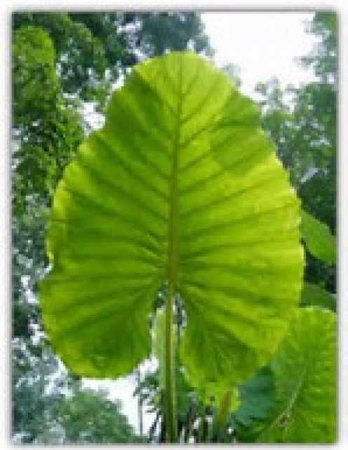 The biggest undivided leaf known to man can be found only in Malaysia and it is named Alocasia Macrorrhiza.