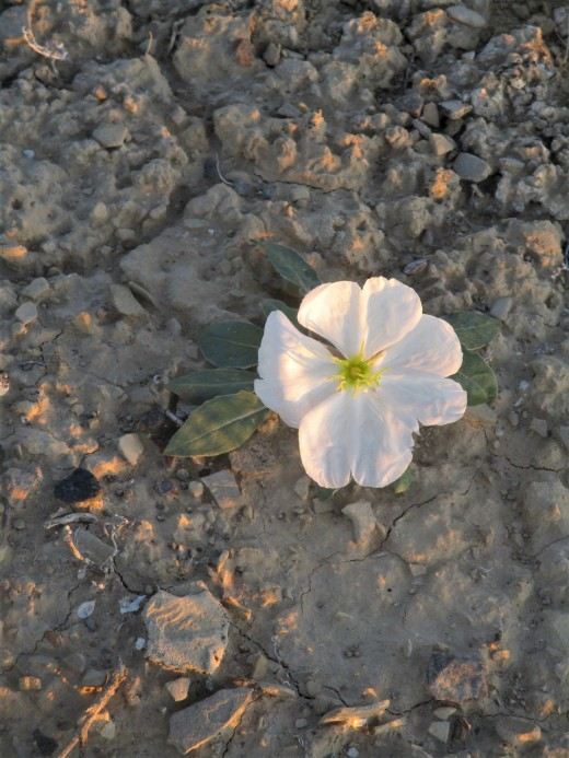 A prairie flower (pale evening primrose) is illuminated by the morning sun, photo by author