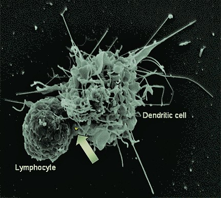 HIV carrying Dendritic cell interacting with a T helper cell