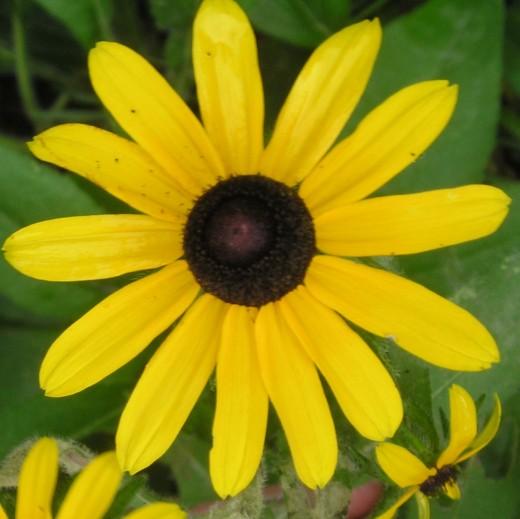Rudbeckia hirta (black-eyed Susan) closeup.