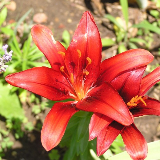 Lilium asiatica, a colorful alternative to Hemerocallis daylilies.