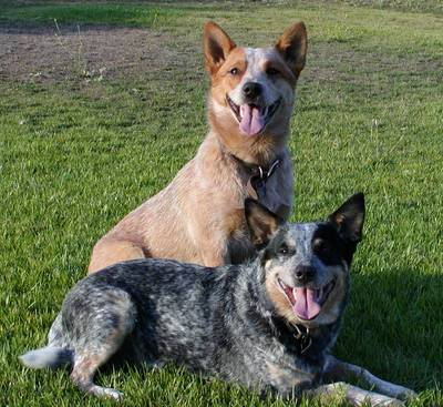 cattle dog.