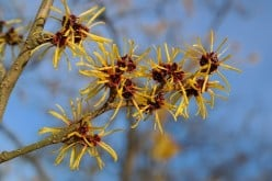 Witch Hazel for a  Radiant and Flawless Skin