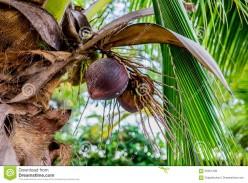 My Coconut Tree