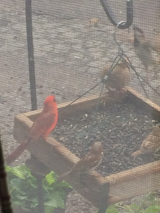 One of the newest cardinals that come to the feeders