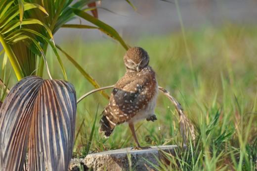 Burowing Owl Juvenile Female