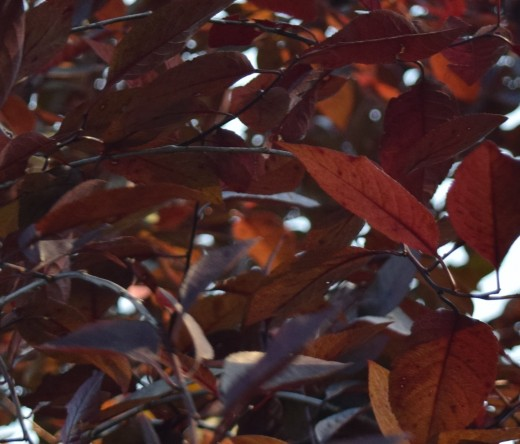 All-summer colorful leaves of Purple Leaf Sand Cherry.