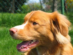 The Nova Scotia Duck Tolling Retriever At-A-Glance