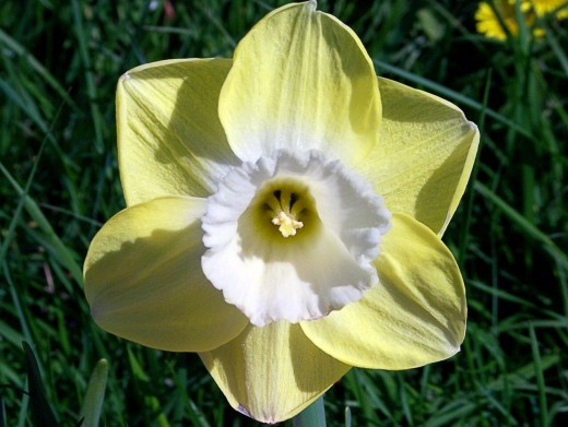 """A daffodil with a white corona and a yellow perianth; the colour of the perianth has """"bled"""" onto the corolla"""