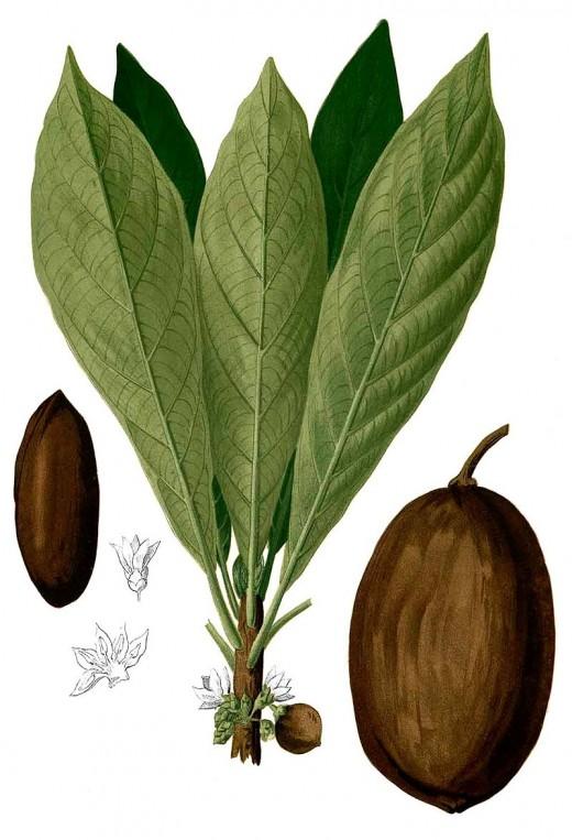 Sapodilla tree, Manilkara zapota, the source of chicle.