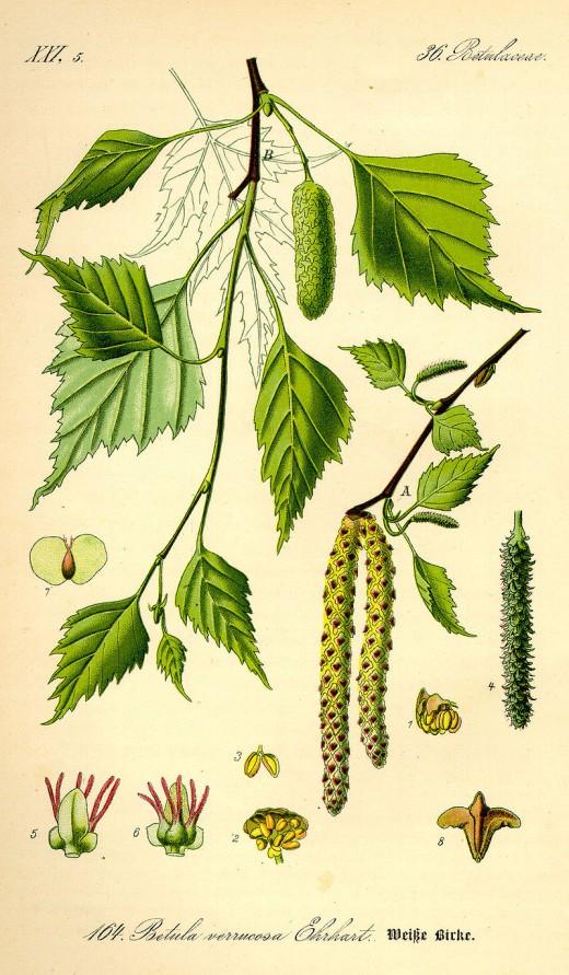 Siver birch, Betula pendula.