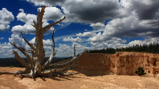 Bristlecone Pine Tree at Bryce Canyon