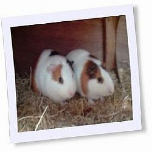 Read about how these guinea pigs became a part of our family.