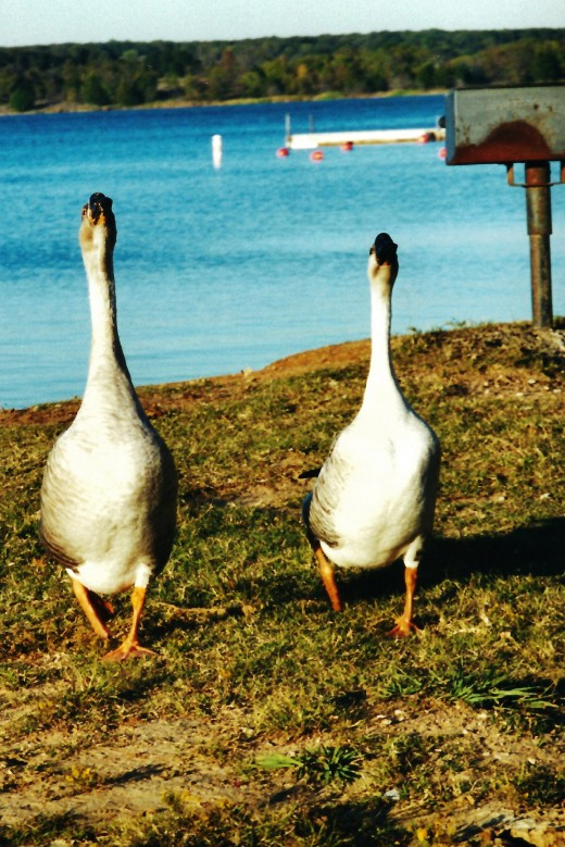 A couple of geese were rapidly approaching us!