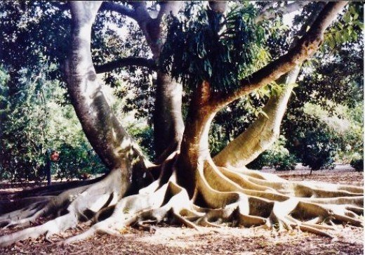 Moreton Bay Fig Tree at Marie Selby Botanical Gardens