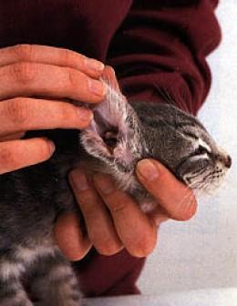 Advantage Ii For Cats Ear Mites