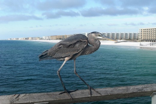 A Great Blue Heron (Ardea herodias)perched on the railing of the fishing pier at Ft. Walton Beach, FL.